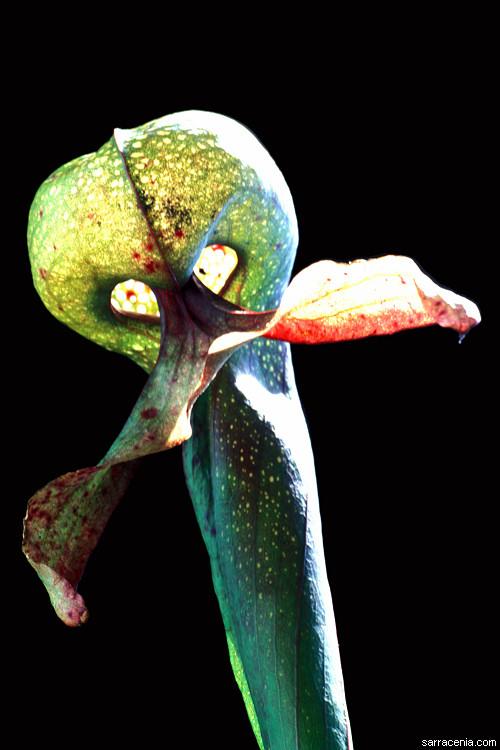 Utricularia Minor The Carnivorous Plant ...