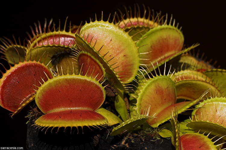 how to plant venus fly trap