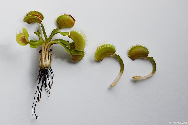 The Carnivorous Plant Faq How Do I Vegetatively Propagate My Venus