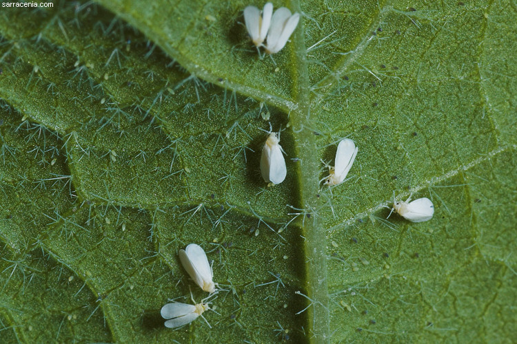 Whitefly eggs  Whitefly. The Carnivorous Plant FAQ  What is this bug eating my carnivorous