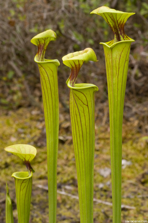 The Carnivorous Plant Faq Sarracenia Overview