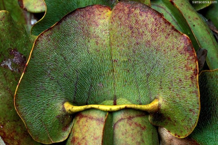 The Carnivorous Plant Faq Sarracenia Hybrids