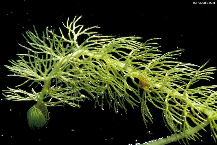Utricularia intermediaUtricularia Intermedia