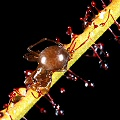 Drosera filiformis eats a spider.