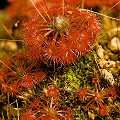 Drosera occidentalis