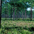 Osceola County, a site where fire is allowed to move through frequently, housing several species of carnivorous plants.