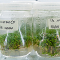 Masses of plants in tissue culture.