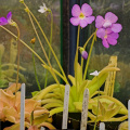 Part of a nice Pinguicula collection.