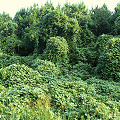 Kudzu in Alabama