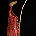 Nepenthes x superba