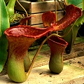 Nepenthes Peter D'Amato